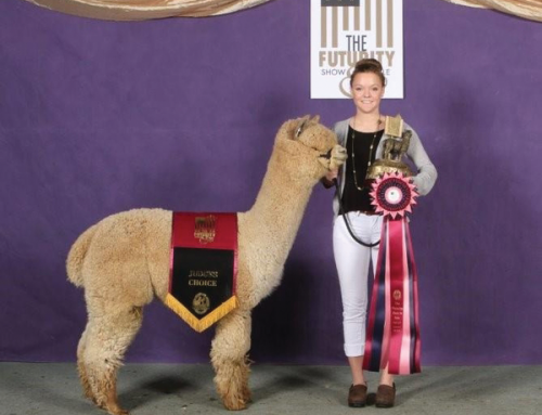 2017 Hi-Selling Huacaya Alpaca: Lot 25-Snowmass Divine Love